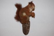 Einchhörnchen, ausgestopft